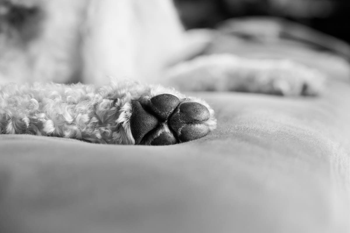 Goldendoodle-Macy-dog-black-and-white-fine-art-photography-by-Studio-L-photographer-Laura-Schneider-_4277