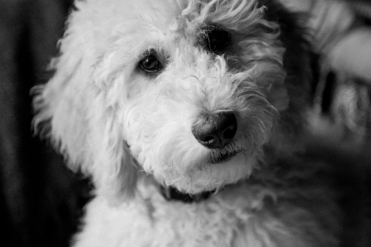 Goldendoodle-Macy-dog-black-and-white-fine-art-photography-by-Studio-L-photographer-Laura-Schneider-_8449