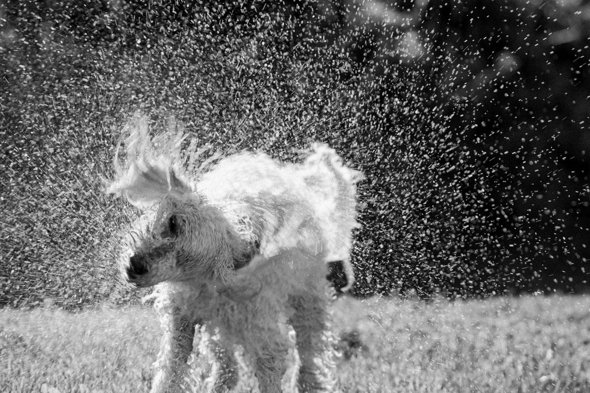 Goldendoodle-Macy-dog-fine-art-photography-by-Studio-L-photographer-Laura-Schneider-_8229