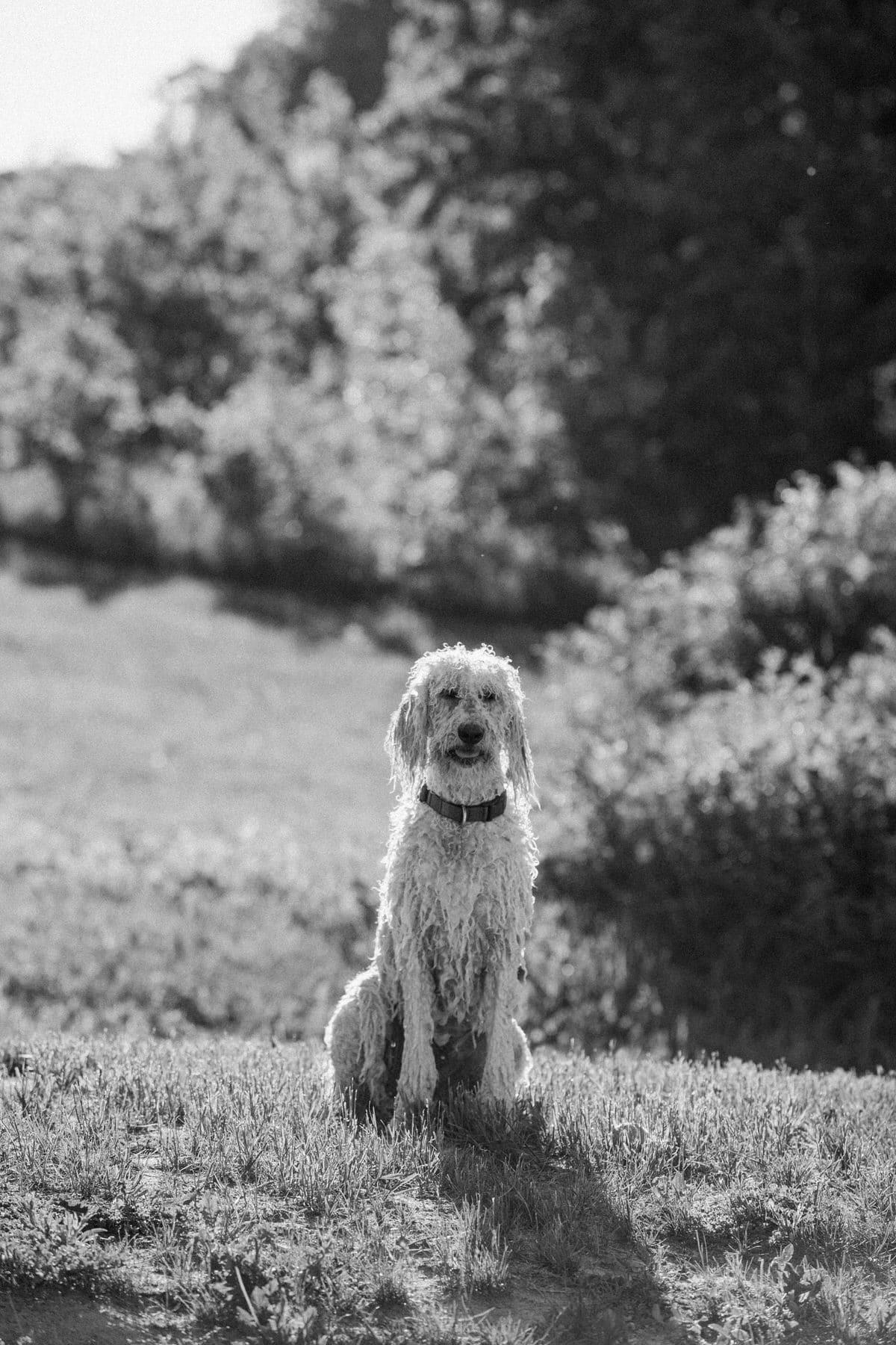 Goldendoodle-Macy-dog-fine-art-photography-by-Studio-L-photographer-Laura-Schneider-_8241