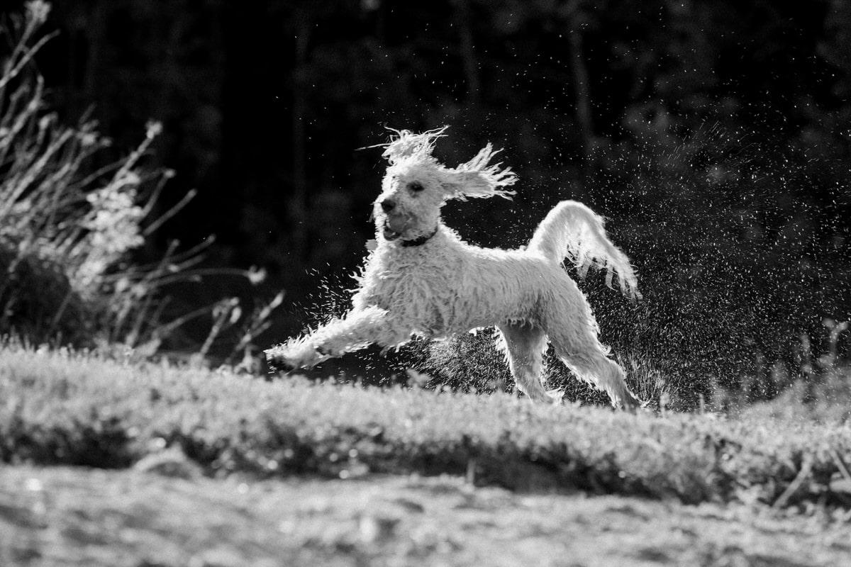 Goldendoodle-Macy-dog-fine-art-photography-by-Studio-L-photographer-Laura-Schneider-_8243