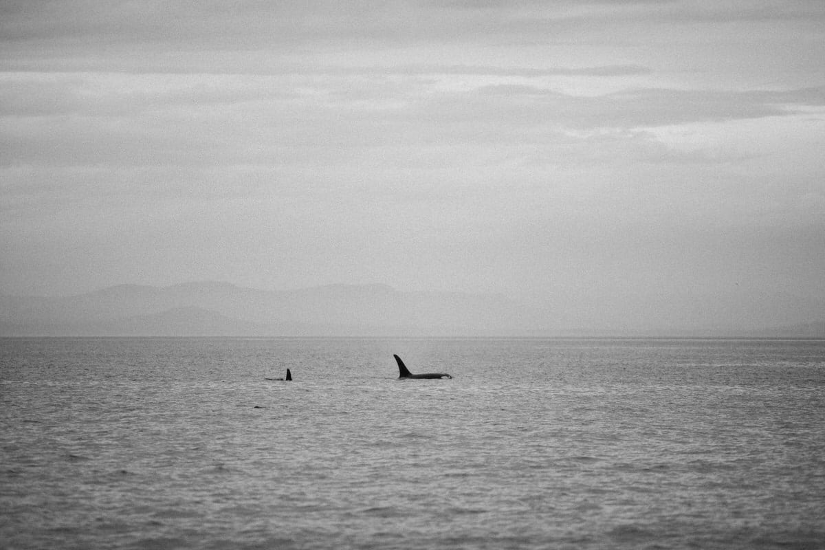 whale-watching-Victoria-British-Columbia-Canada-black-and-white-fine-art-photography-by-Studio-L-photographer-Laura-Schneider-_8920