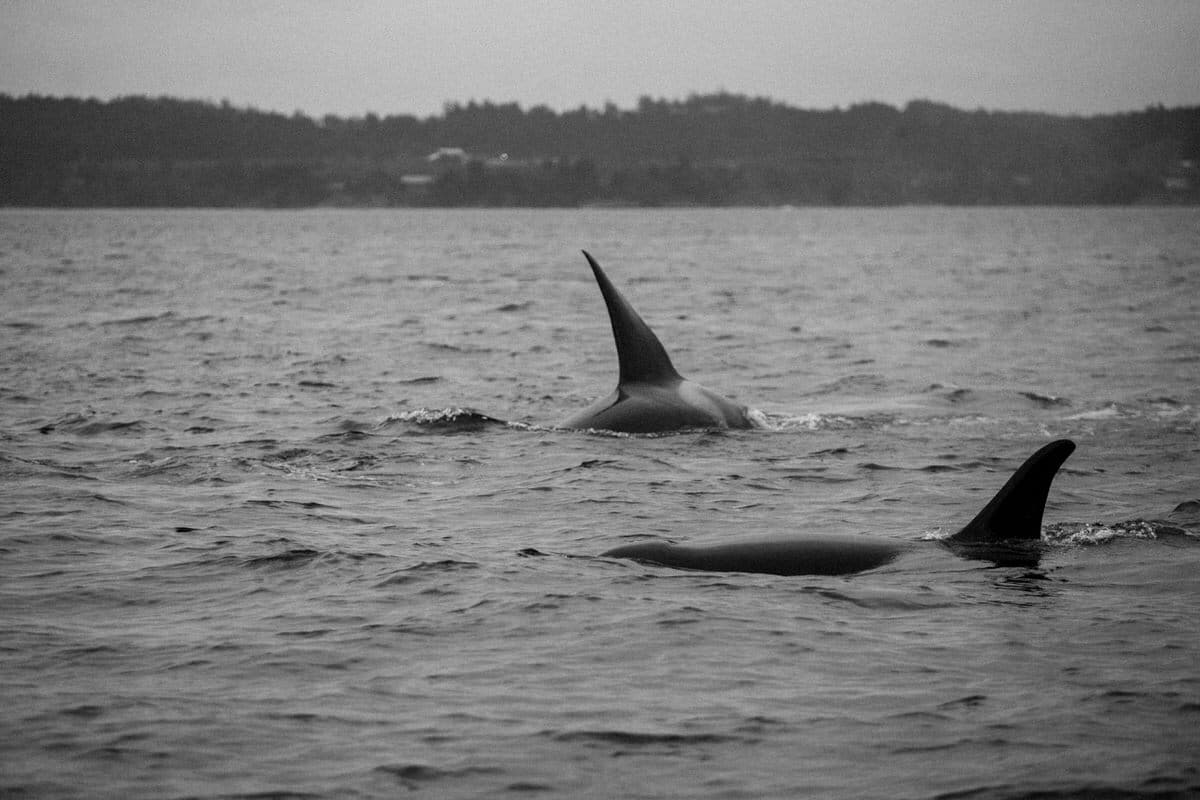 whale-watching-Victoria-British-Columbia-Canada-black-and-white-fine-art-photography-by-Studio-L-photographer-Laura-Schneider-_8965