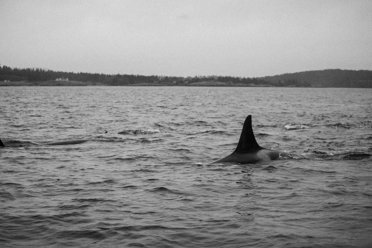 whale-watching-Victoria-British-Columbia-Canada-black-and-white-fine-art-photography-by-Studio-L-photographer-Laura-Schneider-_8967