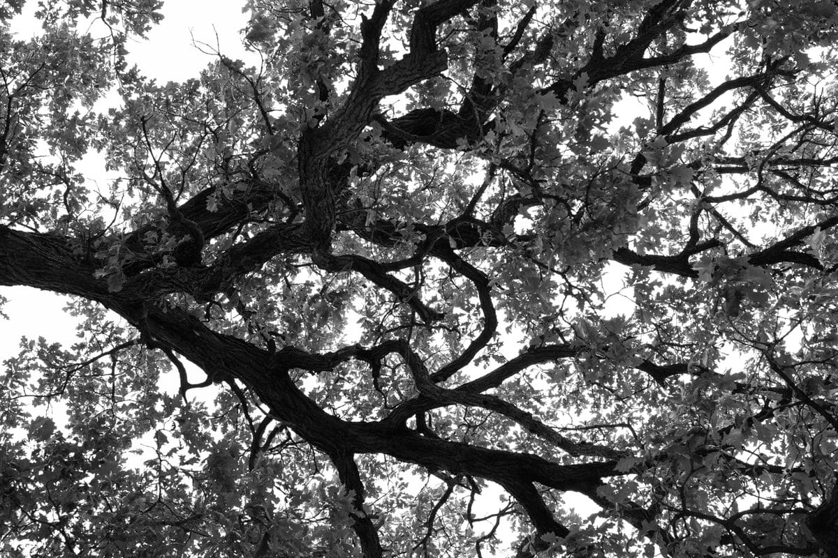 Oak-Tree-Fond-du-Lac-Wisconsin-black-and-white-fine-art-photography-by-Studio-L-photographer-Laura-Schneider-_12004