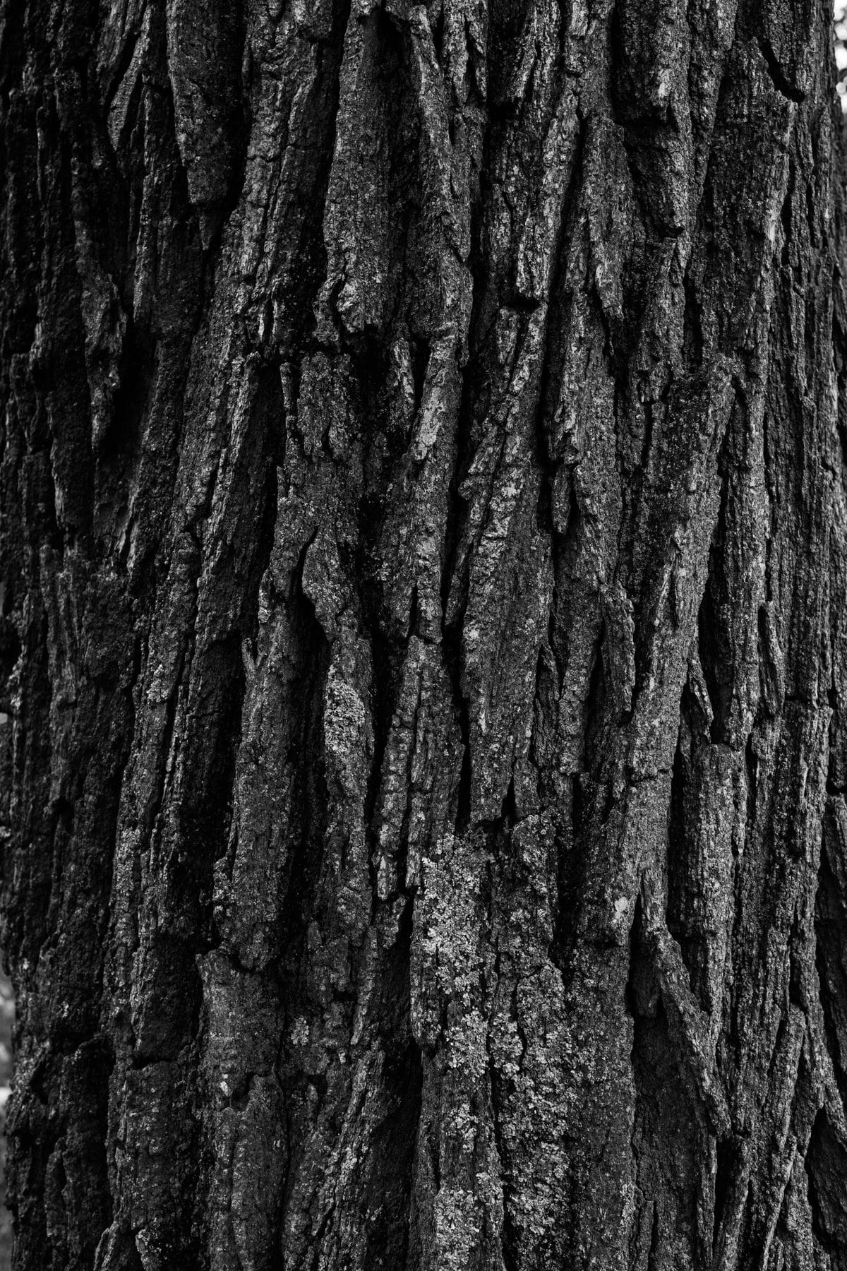 Oak-Tree-Fond-du-Lac-Wisconsin-black-and-white-fine-art-photography-by-Studio-L-photographer-Laura-Schneider-_12016