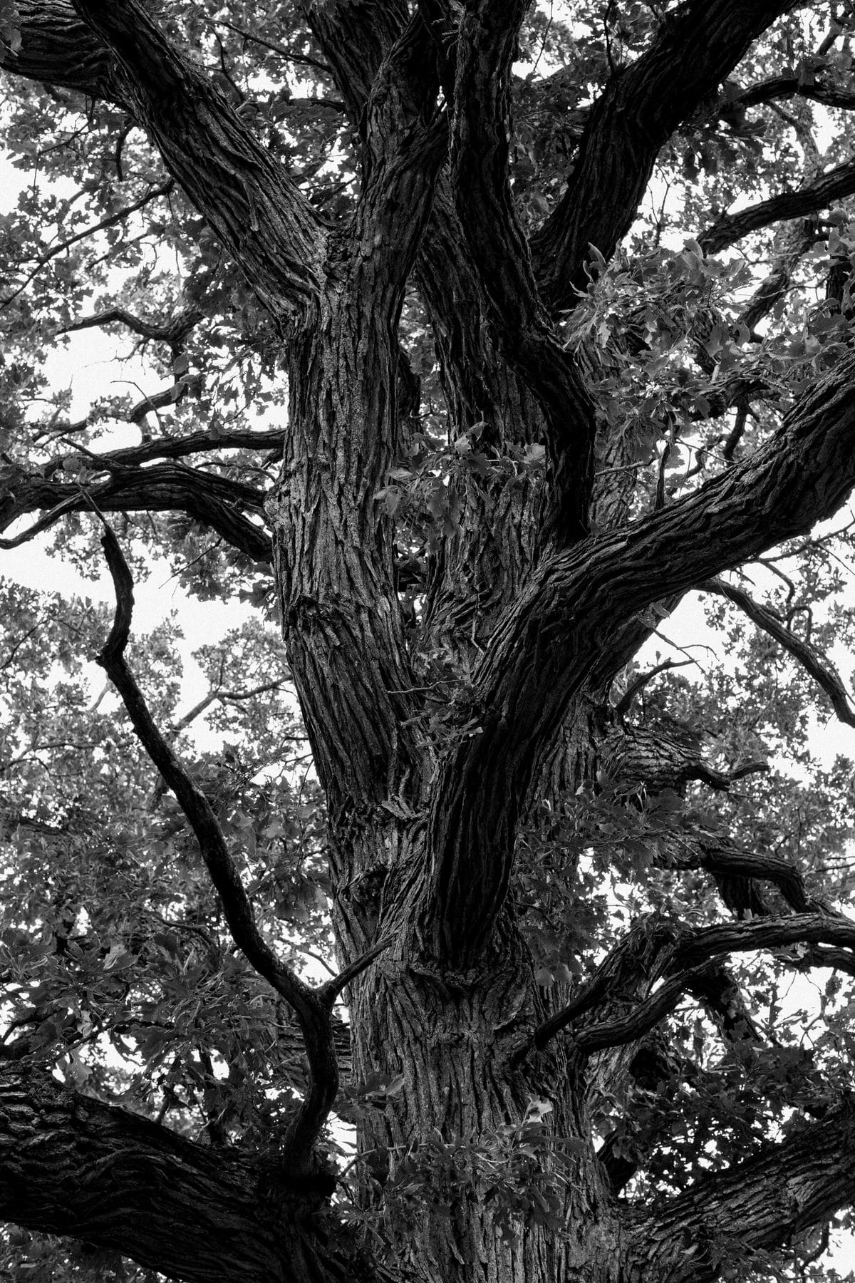 Oak-Tree-Fond-du-Lac-Wisconsin-black-and-white-fine-art-photography-by-Studio-L-photographer-Laura-Schneider-_12036