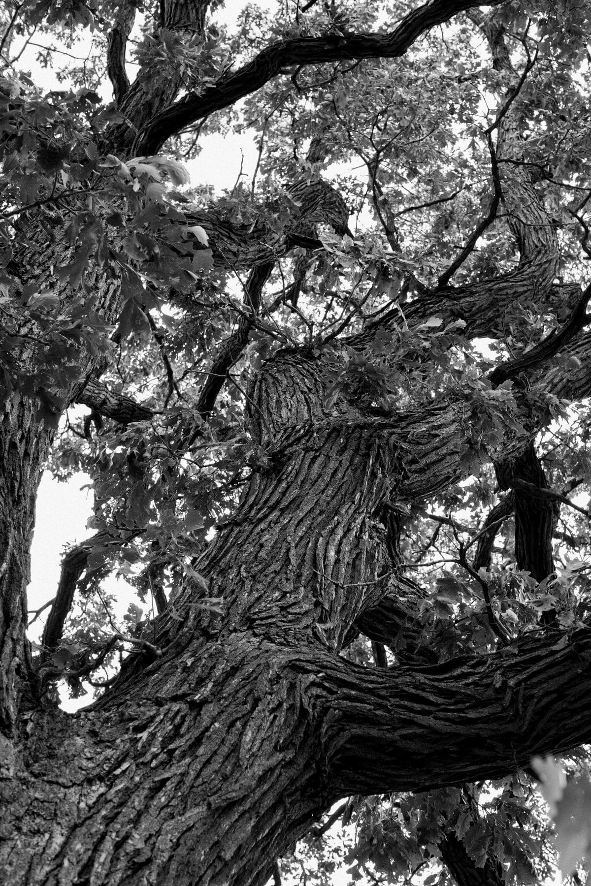 Oak-Tree-Fond-du-Lac-Wisconsin-black-and-white-fine-art-photography-by-Studio-L-photographer-Laura-Schneider-_12048