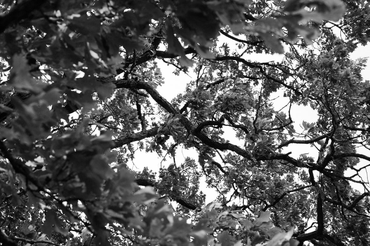 Oak-Tree-Fond-du-Lac-Wisconsin-black-and-white-fine-art-photography-by-Studio-L-photographer-Laura-Schneider-_12059
