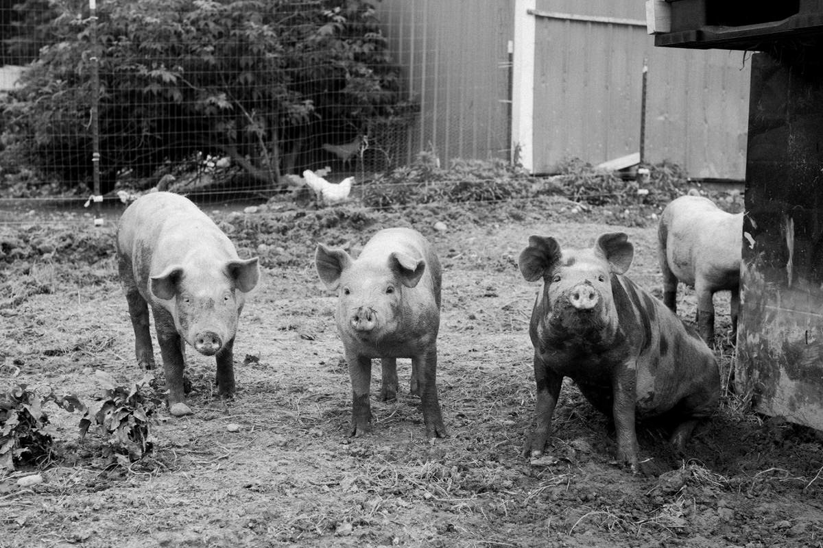 Humanely-raised-hogs-Wisconsin-farm-black-and-white-fine-art-photography-by-Studio-L-photographer-Laura-Schneider-_9233