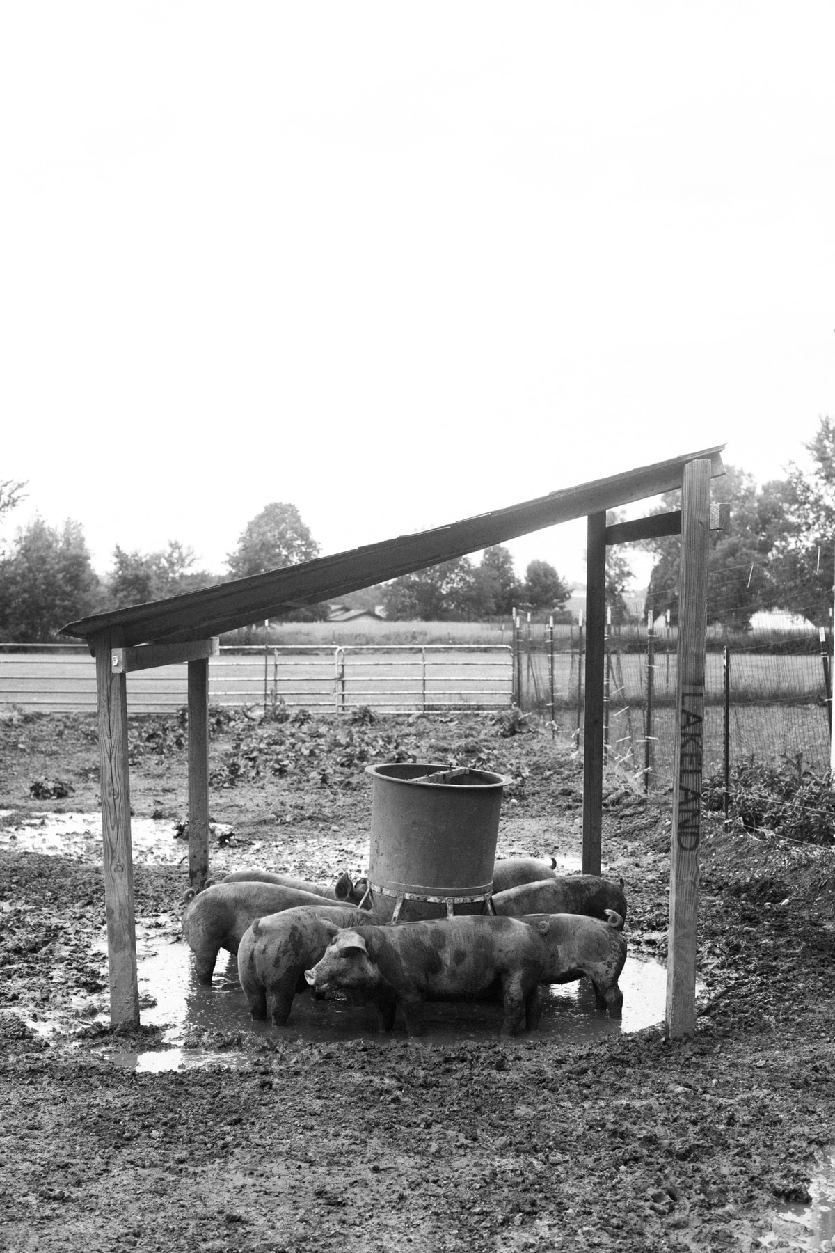 Humanely-raised-hogs-Wisconsin-farm-black-and-white-fine-art-photography-by-Studio-L-photographer-Laura-Schneider-_9490