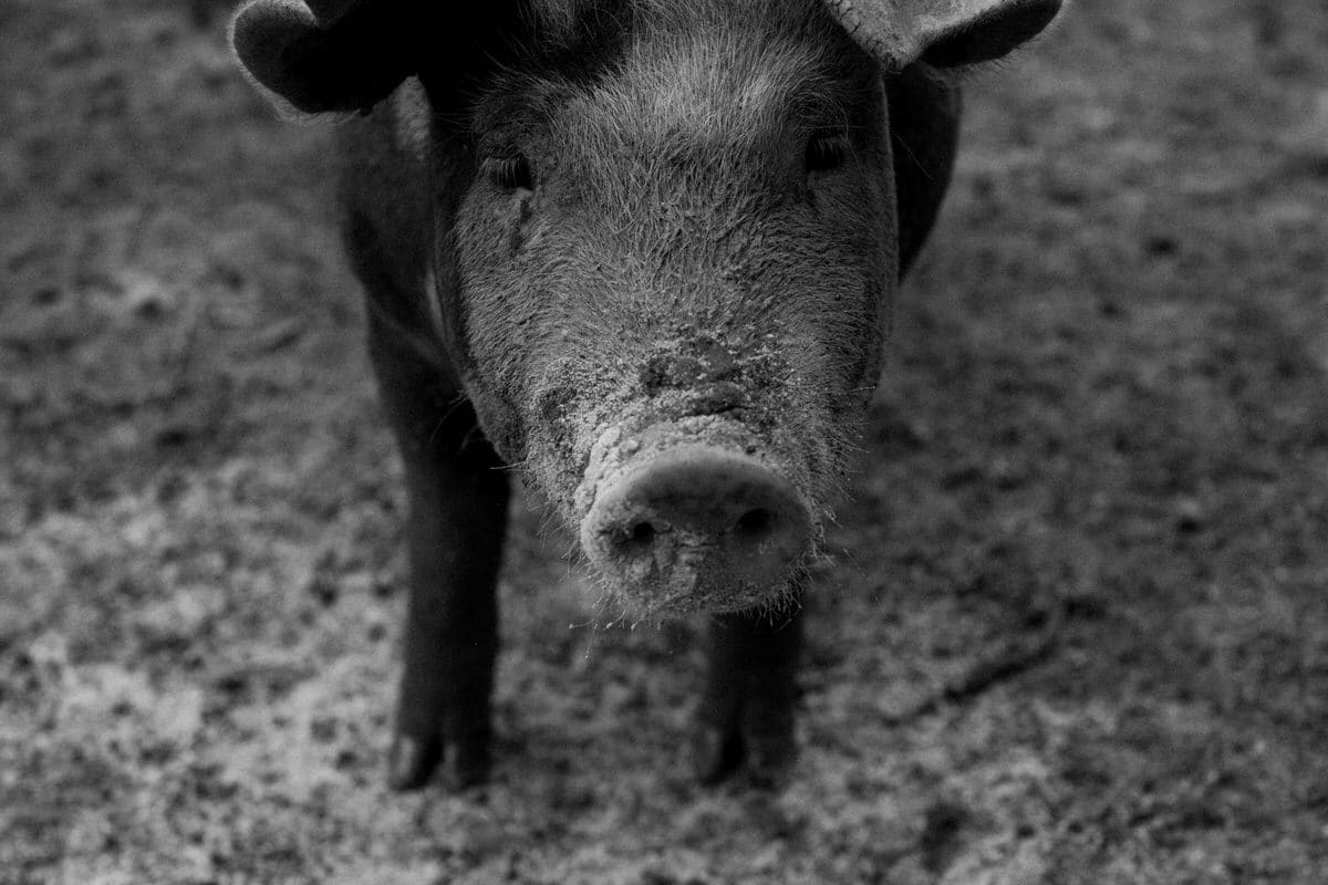 Humanely-raised-hogs-Wisconsin-farm-black-and-white-fine-art-photography-by-Studio-L-photographer-Laura-Schneider-_9494