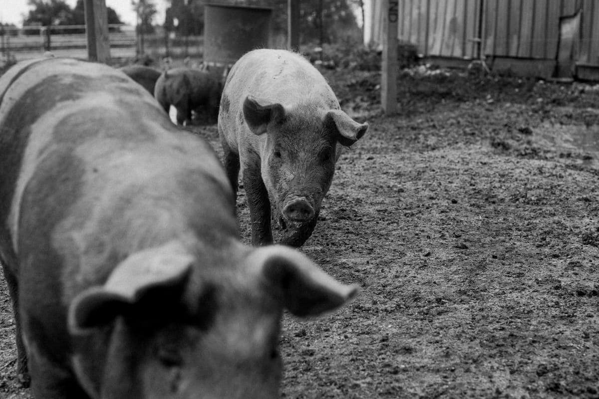 Humanely-raised-hogs-Wisconsin-farm-black-and-white-fine-art-photography-by-Studio-L-photographer-Laura-Schneider-_9495