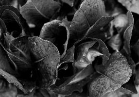 Organic-garden-Canoe-Bay-Chetek-Wisconsin-black-and-white-fine-art-photography-by-Studio-L-photographer-Laura-Schneider-_6784