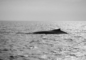 whale-watching-Victoria-British-Columbia-Canada-black-and-white-fine-art-photography-by-Studio-L-photographer-Laura-Schneider-_8860
